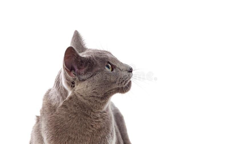 Förtjusande grå katt med gröna ögon arkivbilder