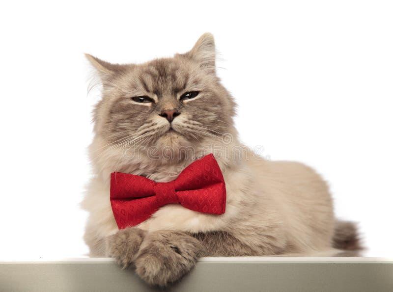 Förtjusande grå katt som ser stilfull bära en röd bowtie fotografering för bildbyråer