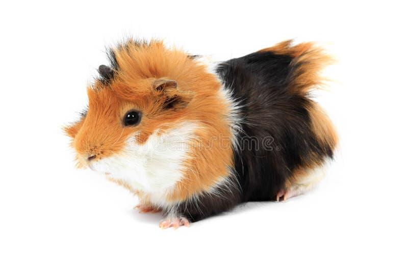 förtjusande guinea isolerad älsklings- pig royaltyfri bild