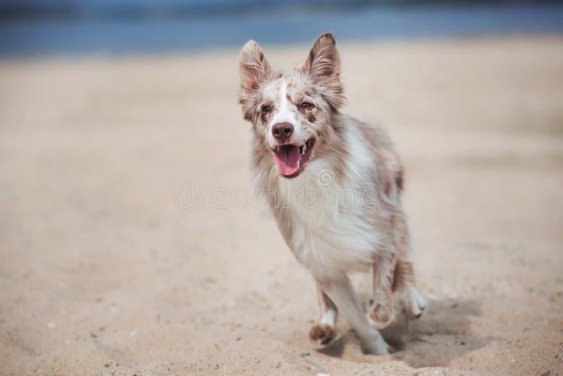 Förtjusande gullig gräns Collie Puppy på stranden royaltyfria foton