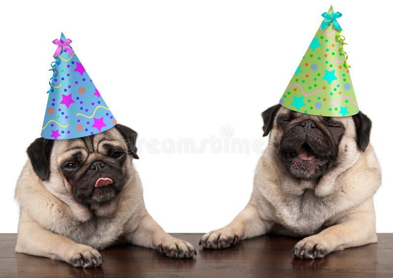 Förtjusande gulliga mopshundvalpar som sjunger och bär födelsedaghatten royaltyfri fotografi