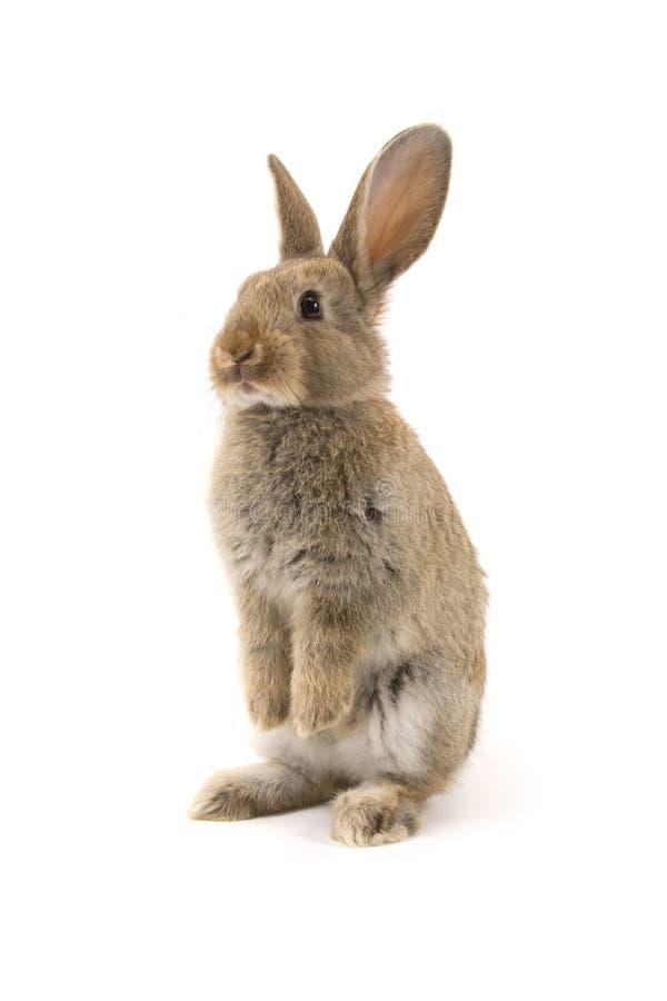 förtjusande isolerad kaninwhite arkivfoton