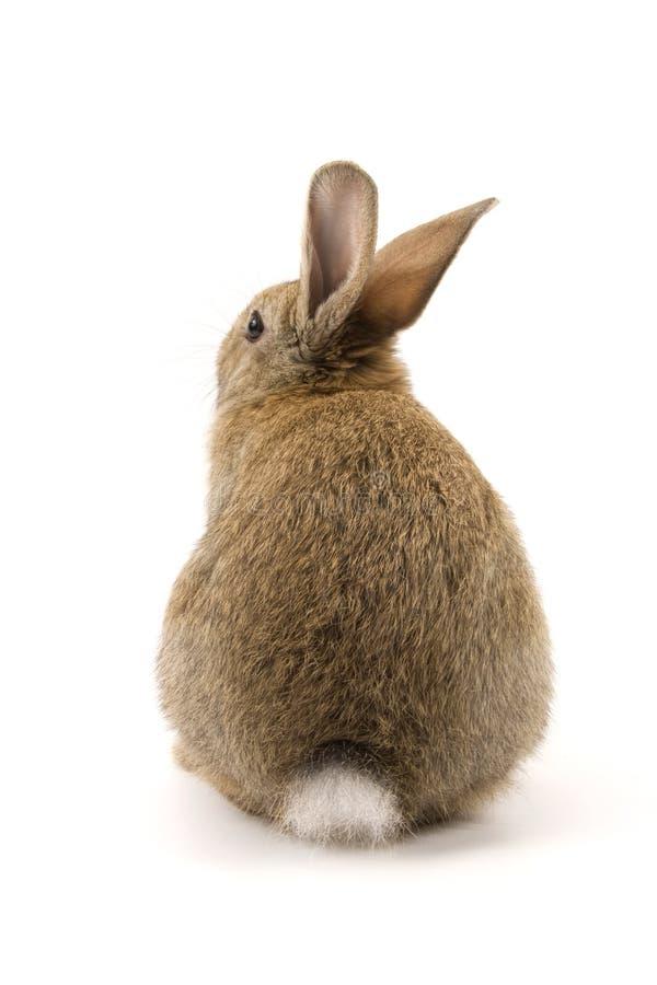 förtjusande isolerad kaninwhite royaltyfri fotografi