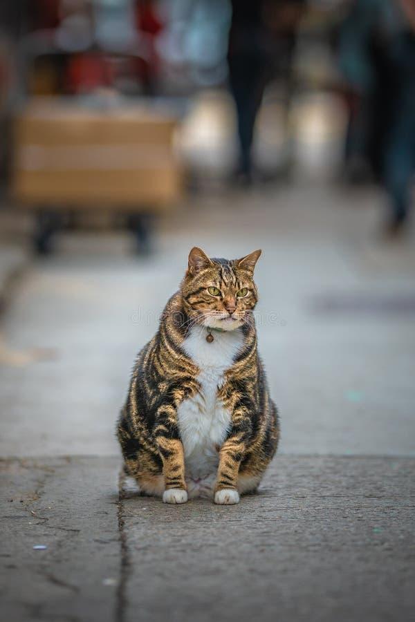 Förtjusande klumpig och sund fet katt royaltyfri foto
