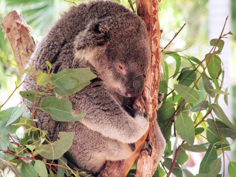 Förtjusande koala som kopplar av i ett träd fotografering för bildbyråer