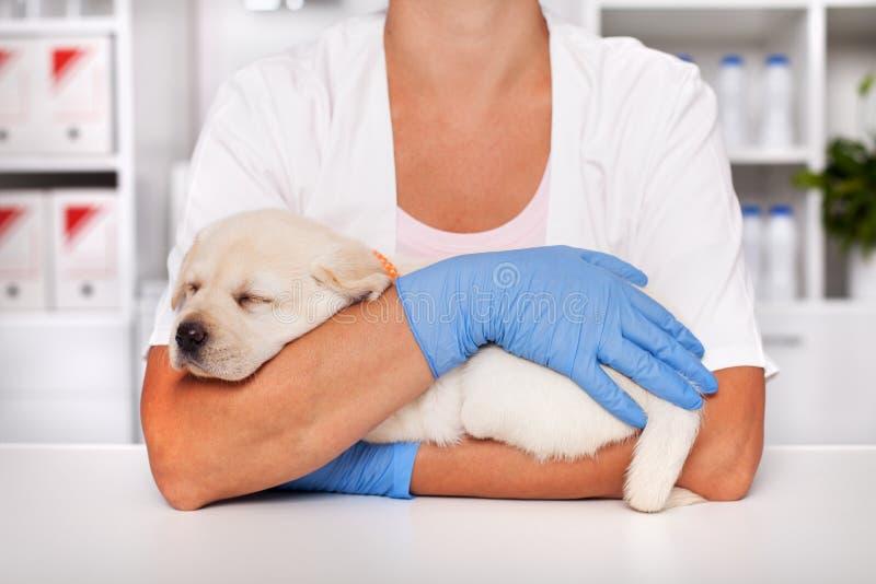 Förtjusande labrador valphund som sover i armarna av den veterinär- omsorgprofessionelln royaltyfria bilder