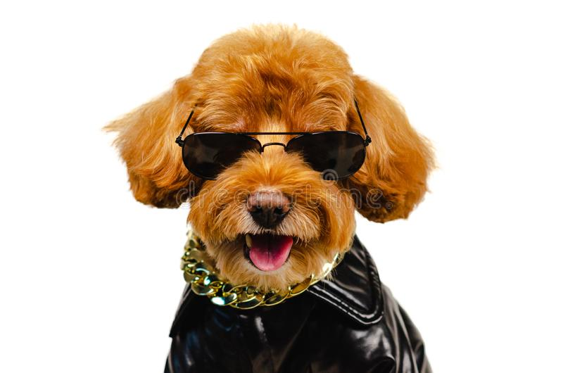Förtjusande le brun bärande solglasögon för en leksakpudelhund, guld- halsband och klä med läderomslaget för loppbegrepp fotografering för bildbyråer