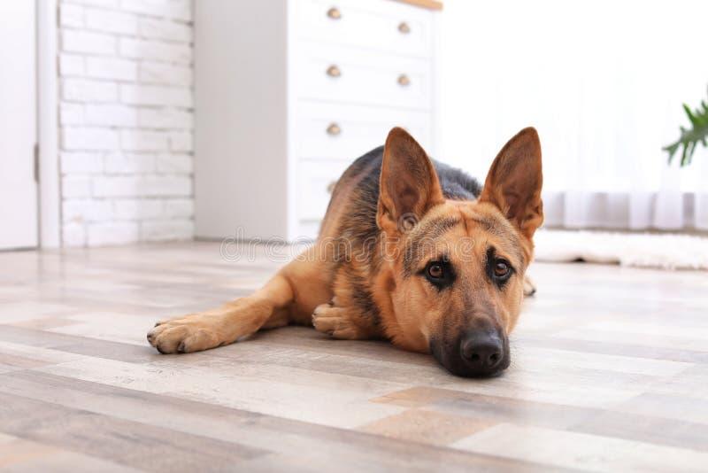 Förtjusande ligga för hund för tysk herde royaltyfri foto
