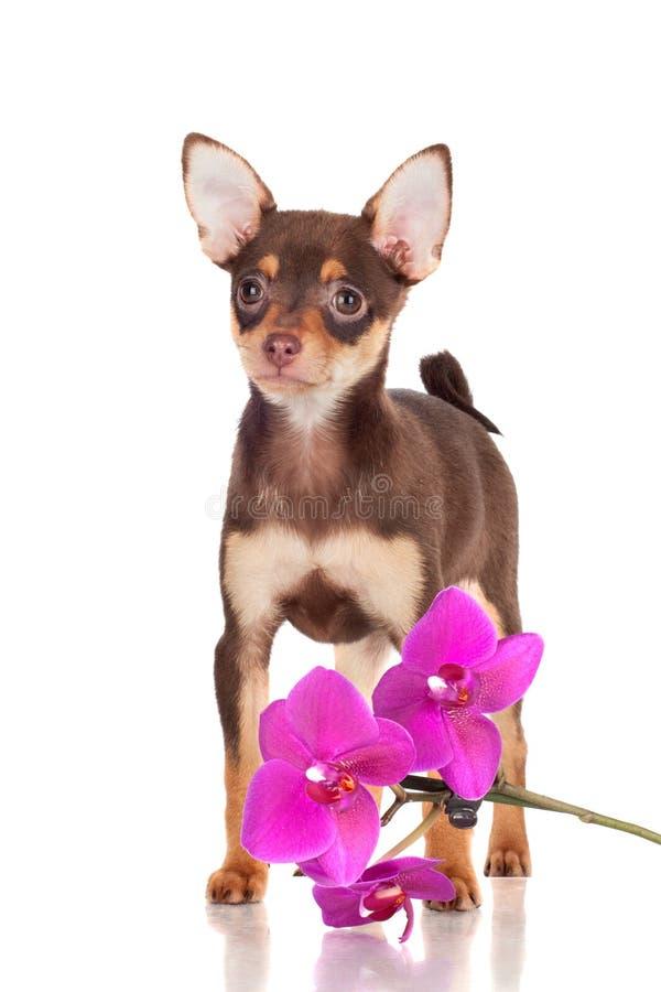 Förtjusande liten valp med en orchidblomma royaltyfri fotografi