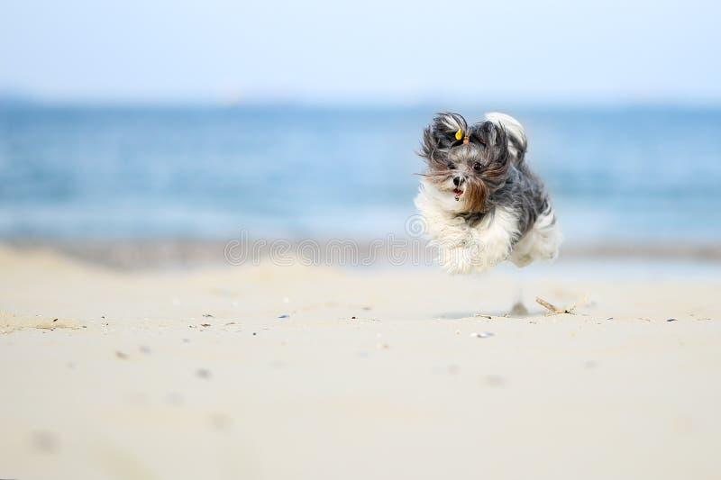 Förtjusande lycklig svart, grå färger och vit Bichon Havanese dog spring på stranden som fångas i luften, på en ljus solig dag Hö arkivbilder