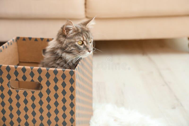 Förtjusande Maine Coon katt i kartong hemma arkivbilder