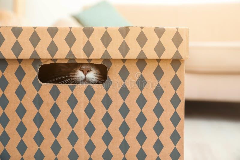 Förtjusande Maine Coon katt i kartong hemma arkivfoto
