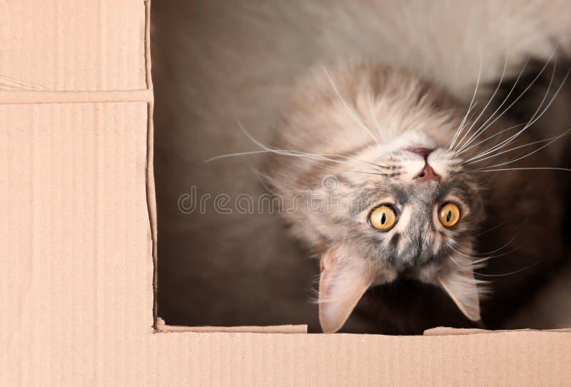 Förtjusande Maine Coon katt i kartong hemma royaltyfria foton