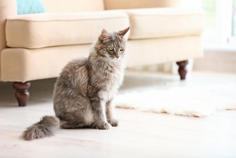 Förtjusande Maine Coon katt på golv hemma royaltyfri bild