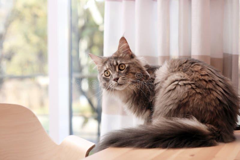 Förtjusande Maine Coon katt på tabellen hemma arkivbilder