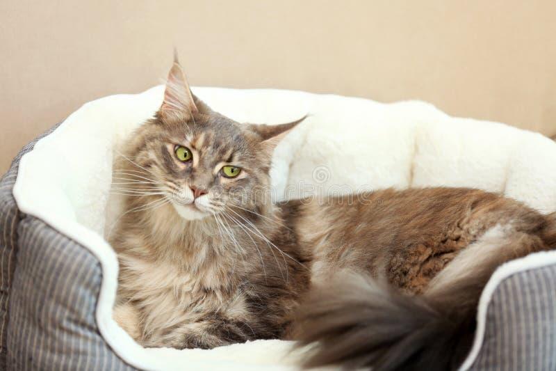 Förtjusande Maine Coon katt som ligger i husdjursäng arkivfoton