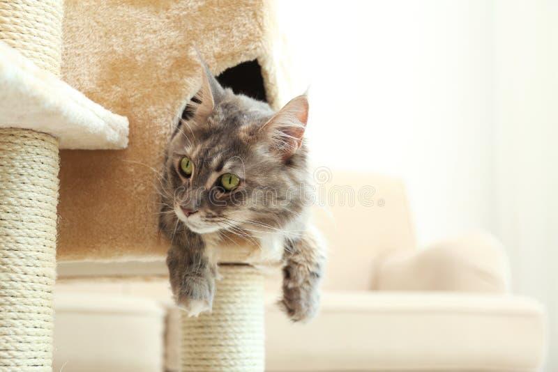Förtjusande Maine Coon på kattträd hemma royaltyfri foto