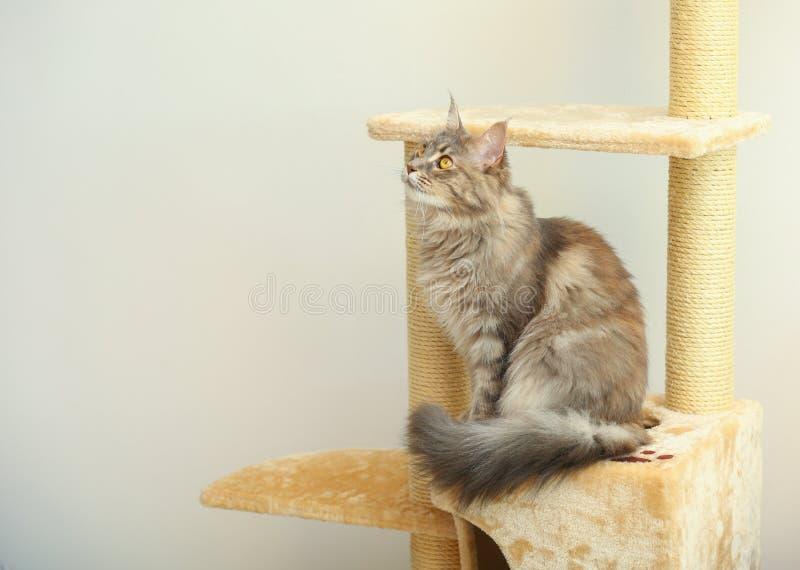 Förtjusande Maine Coon på kattträd hemma arkivfoto
