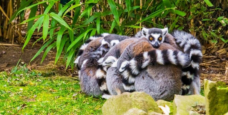 Förtjusande och roligt djurt uppförande, den stora gruppen av cirkeln tailed makiapor som kramar sig royaltyfri foto