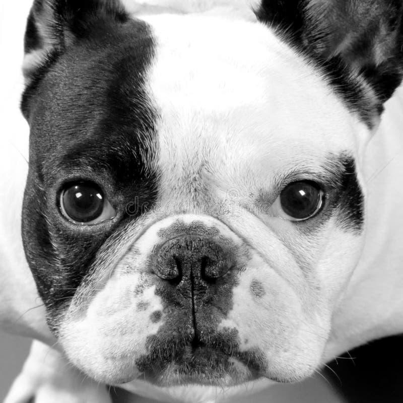 Förtjusande Pied kvinnlig fransk bulldogg arkivbild