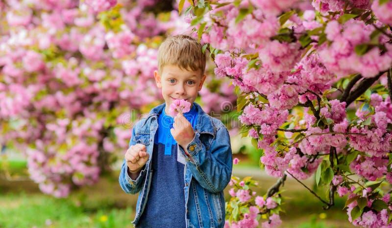 Förtjusande pojke som sniffar sakura den mjuka blomman r E barn royaltyfri foto