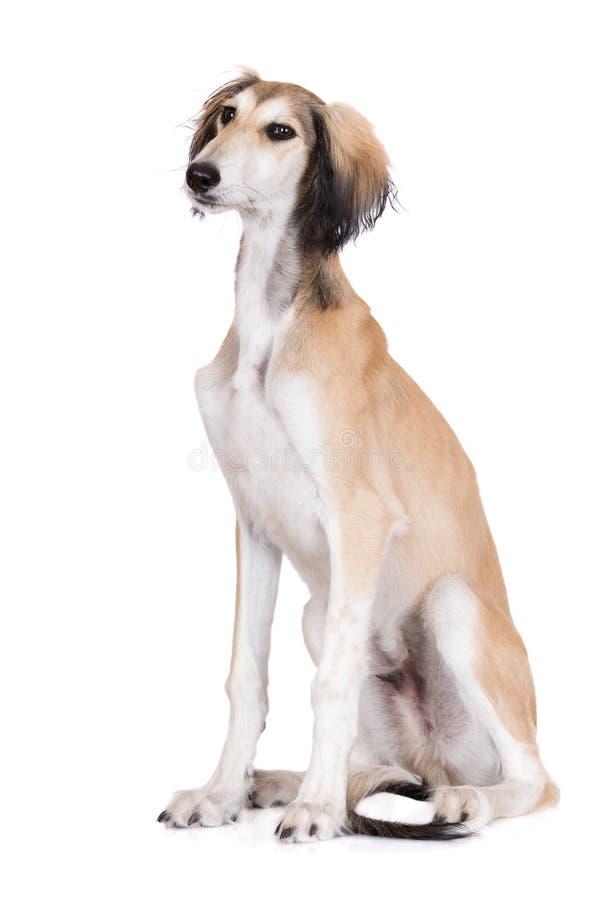 Förtjusande salukihundsammanträde på vit fotografering för bildbyråer