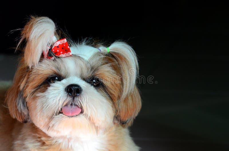 Förtjusande Shih Tzu hundstirrande på kameran royaltyfria bilder
