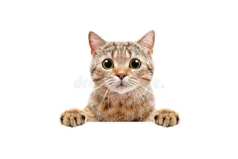 Förtjusande skotsk rak katt som bakifrån kikar ett baner royaltyfria foton