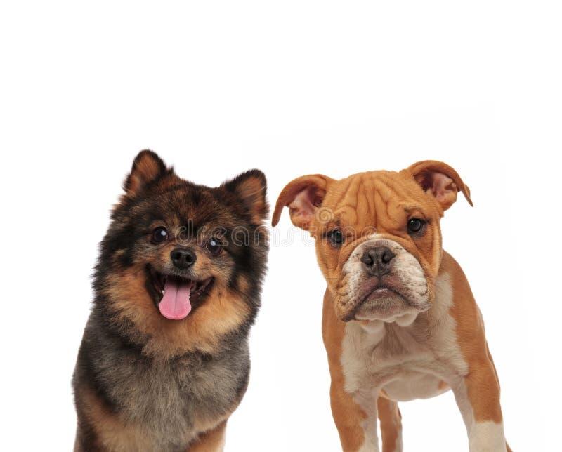 Förtjusande spitz och engelsk bulldogg som ser kameran royaltyfri foto