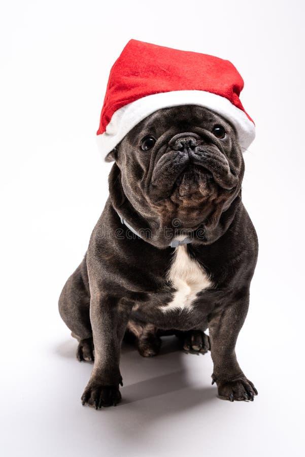 Förtjusande stående av en fransk bulldogg som bär en Santa Claus hatt royaltyfria foton