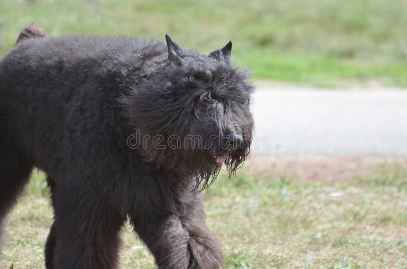 Förtjusande svart hund för Bouviers Des Flanders arkivfoto