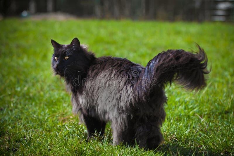 Förtjusande svart Maine Coon katt på gräs arkivfoton