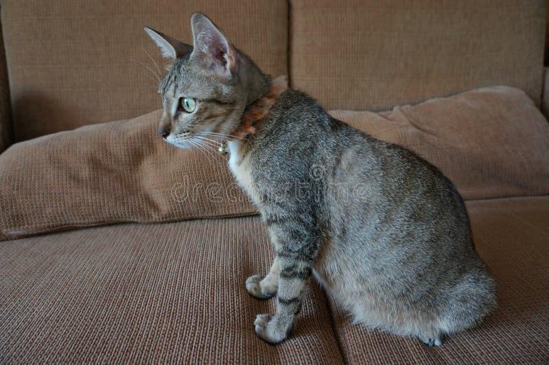 Förtjusande tonårig gravid levande strimmig kattkatt inomhus royaltyfri bild