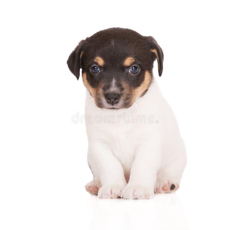 Förtjusande valp för stålarrussell terrier royaltyfria bilder