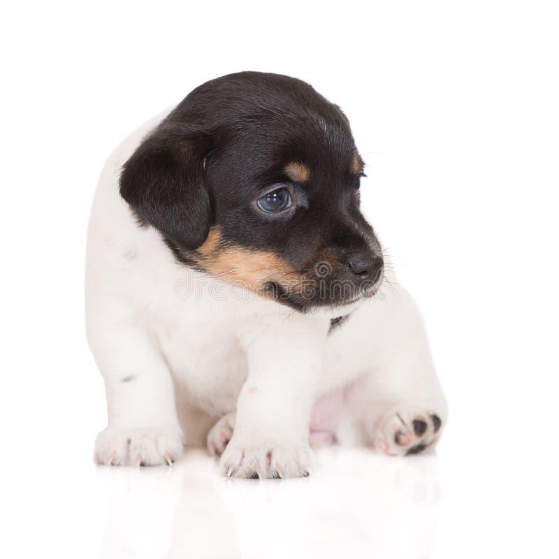 Förtjusande valp för stålarrussell terrier royaltyfria foton
