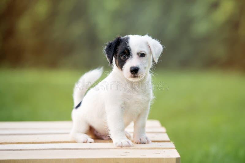 Förtjusande valp för stålarrussell terrier som utomhus poserar royaltyfri fotografi
