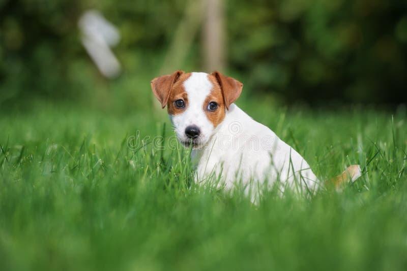 Förtjusande valp för stålarrussell terrier som utomhus poserar royaltyfria foton