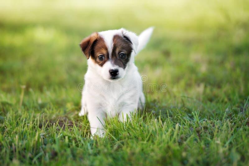 Förtjusande valp för stålarrussell terrier utomhus fotografering för bildbyråer