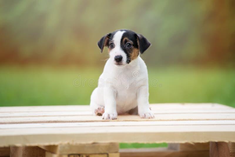 Förtjusande valp för stålarrussell terrier utomhus arkivfoto
