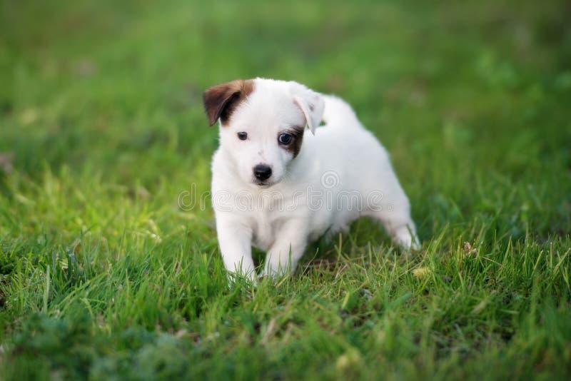 Förtjusande valp för stålarrussell terrier utomhus i sommar royaltyfria foton