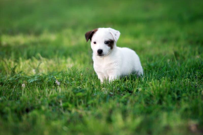 Förtjusande valp för stålarrussell terrier utomhus i sommar fotografering för bildbyråer