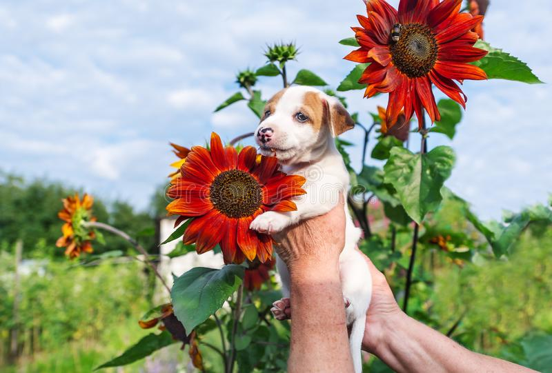 Förtjusande valp i hand och solros i trädgård royaltyfri fotografi