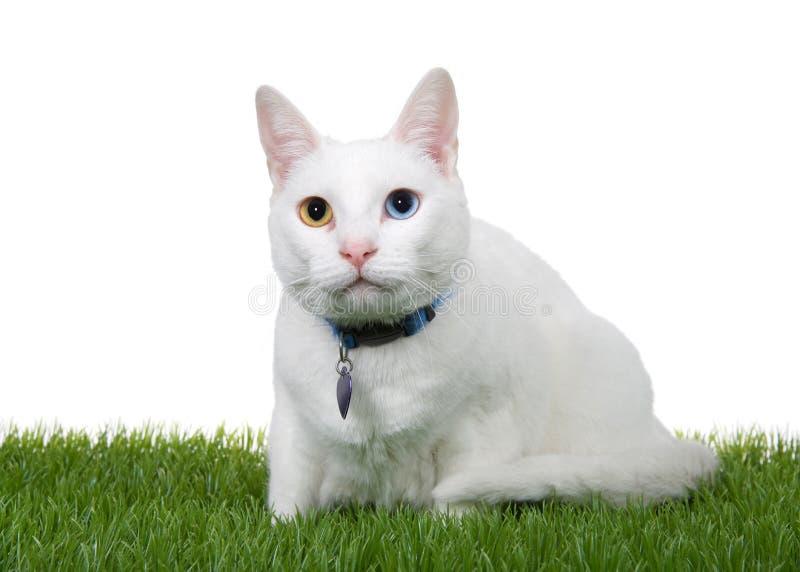 Förtjusande vit kattunge med heterochromiaen som huka sig ned i isolerat grönt gräs arkivfoton