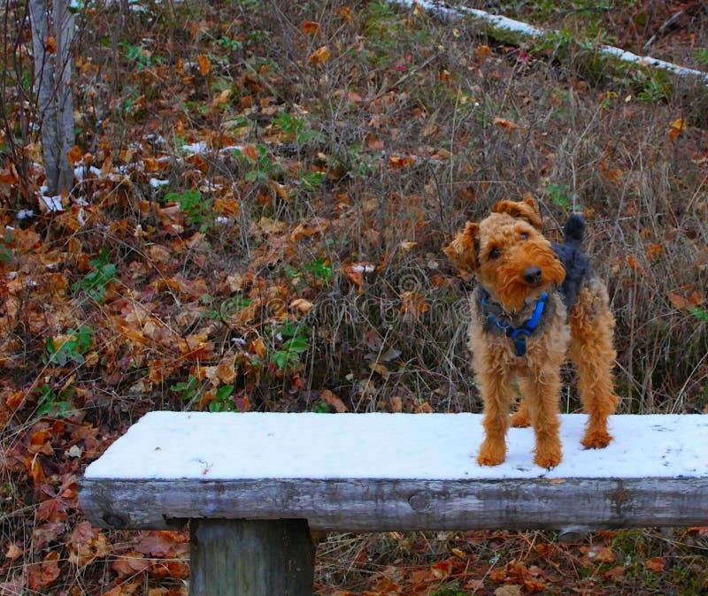 Förtjusande walesiska Terrier hund på en vinterbänk i skogen arkivfoton