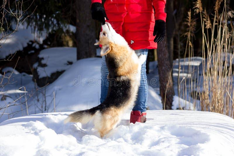 Förtjusande welsh corgipembrokes går utomhus- på vintern fotografering för bildbyråer
