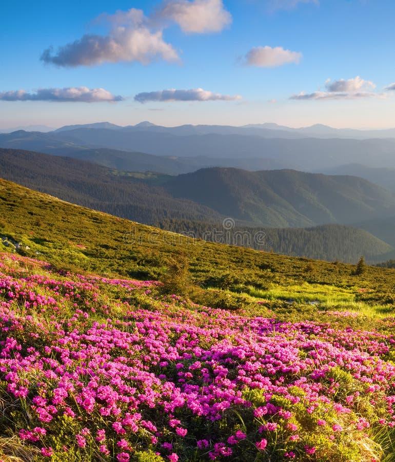 Förträffliga rosa rhododendroner på bergen royaltyfri fotografi