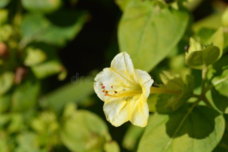 Förundra sig av Peru Lutea royaltyfria foton