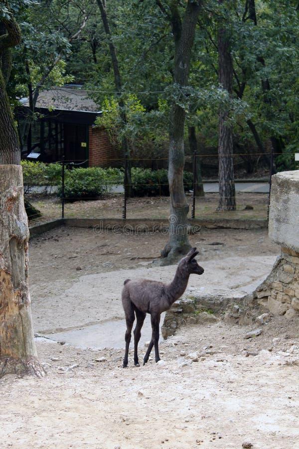 Förväxlad behandla som ett barn alpaca i fångenskap arkivbilder