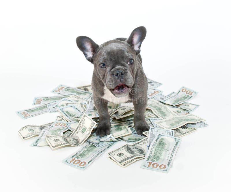 Förvånad fransk bulldogg royaltyfri fotografi