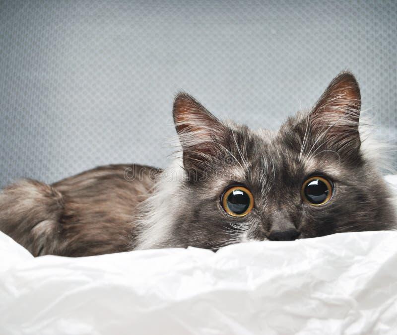 Förvånad katt i studiobakgrund royaltyfria bilder